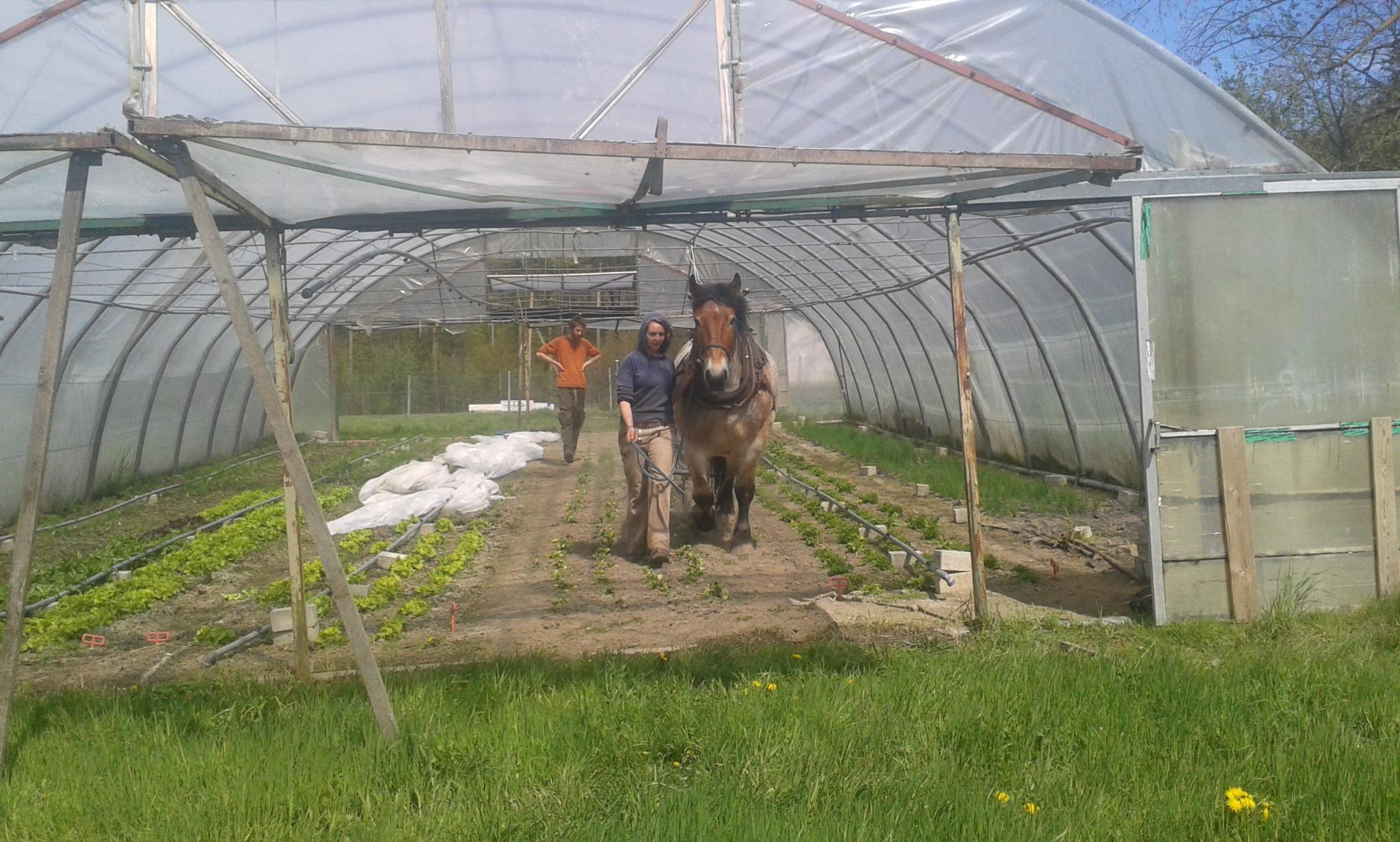 Mit den Pferden arbeiten im Gewächshaus